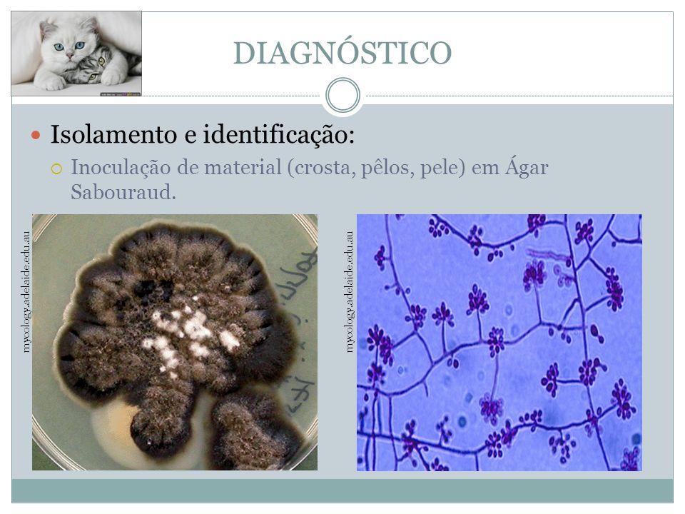 DIAGNÓSTICO Isolamento e identificação: Inoculação de material (crosta, pêlos, pele) em Ágar Sabouraud.