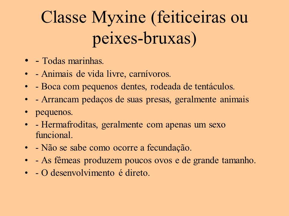 Classe Myxine (feiticeiras ou peixes-bruxas) - Todas marinhas. - Animais de vida livre, carnívoros. - Boca com pequenos dentes, rodeada de tentáculos.