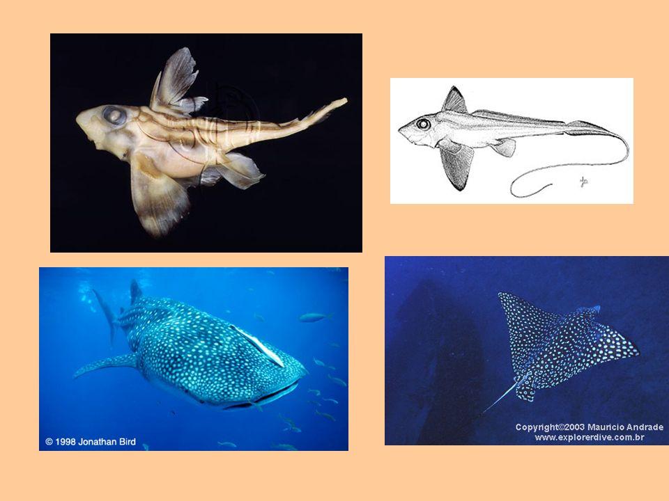 Tegumento Os condrictes elasmobrânquios têm um revestimento único entre os animais.