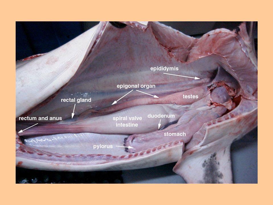 Reprodução Dióicos Machos apresentam órgãos copuladores - cláspers Desenvolvimento direto Ovíparos, ovovivíparos e vivíparos