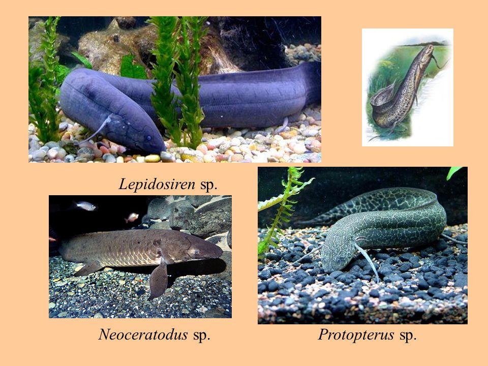 Lepidosiren sp. Protopterus sp.Neoceratodus sp.