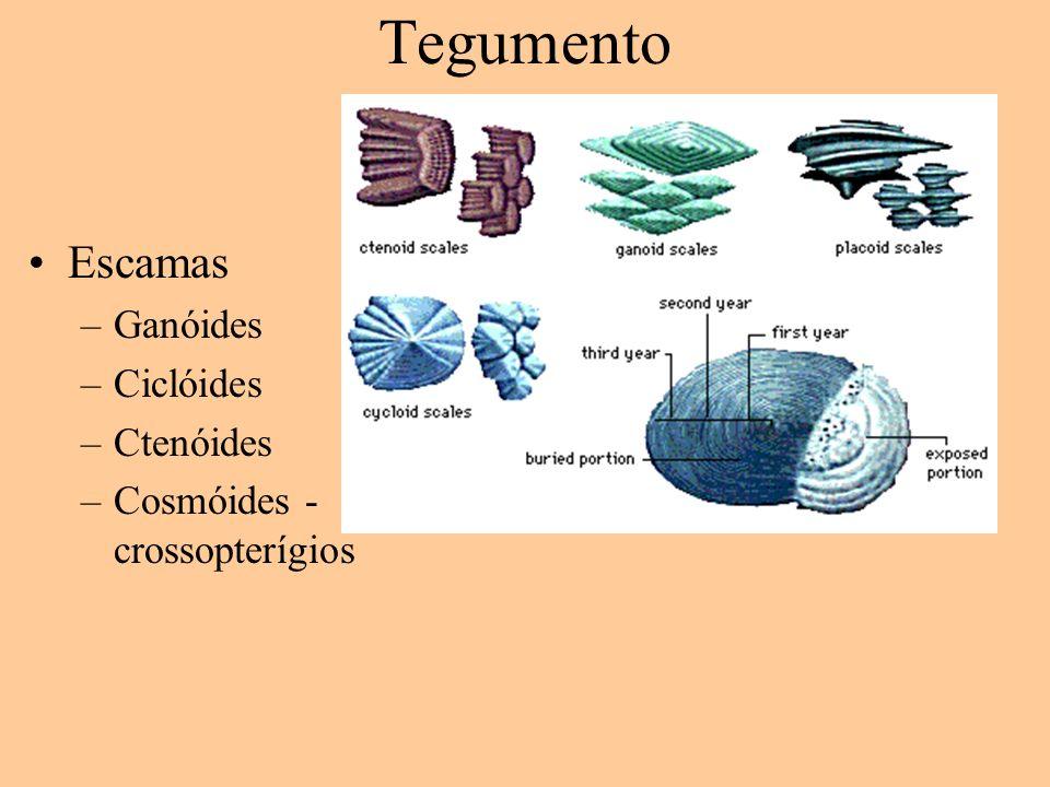Tegumento Escamas –Ganóides –Ciclóides –Ctenóides –Cosmóides - crossopterígios