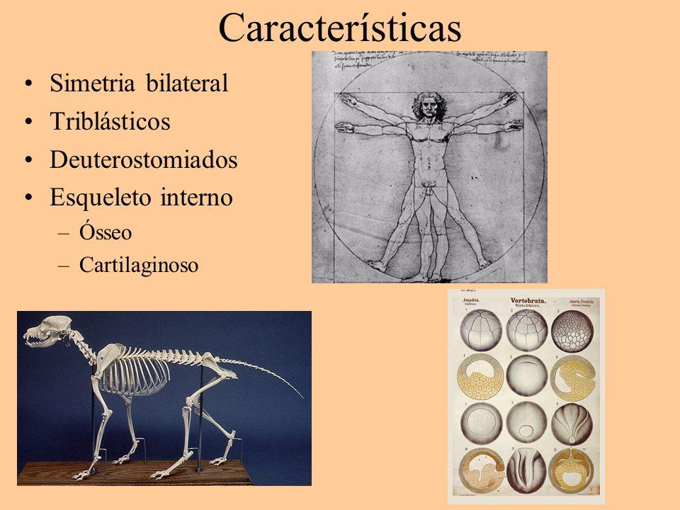 Características Simetria bilateral Triblásticos Deuterostomiados Esqueleto interno –Ósseo –Cartilaginoso