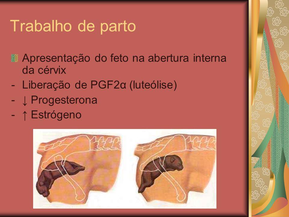 Trabalho de parto Apresentação do feto na abertura interna da cérvix -Liberação de PGF2α (luteólise) - Progesterona - Estrógeno
