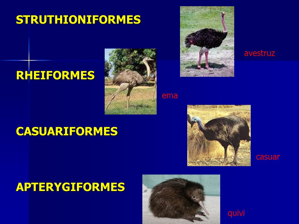 PALEOGNATHAE (RATITAS) Ausência de quilha ou carena