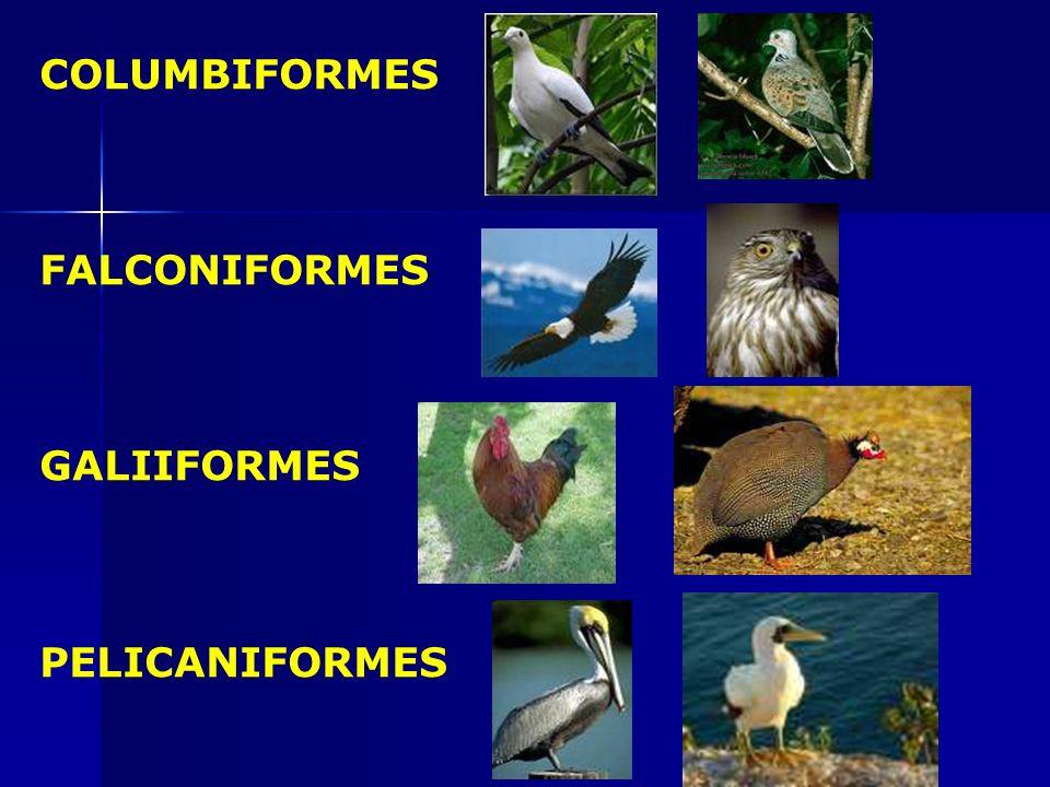 ANSERIFORMES APODIFORMES CHARADRIIFORMES CICONIIFORMES