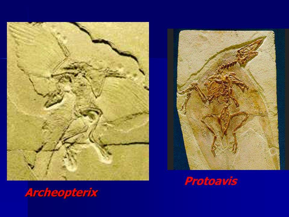 ORIGEM EVOLUTIVA DAS AVES SURGIRAM ENTRE 245 E 208 MILHÕES DE ANOS ATRÁS EVOLUÍRAM A PARTIR DE RÉPTEIS PRIMITIVOS Archeopterix (PERÍODO JURÁSSICO) Pro