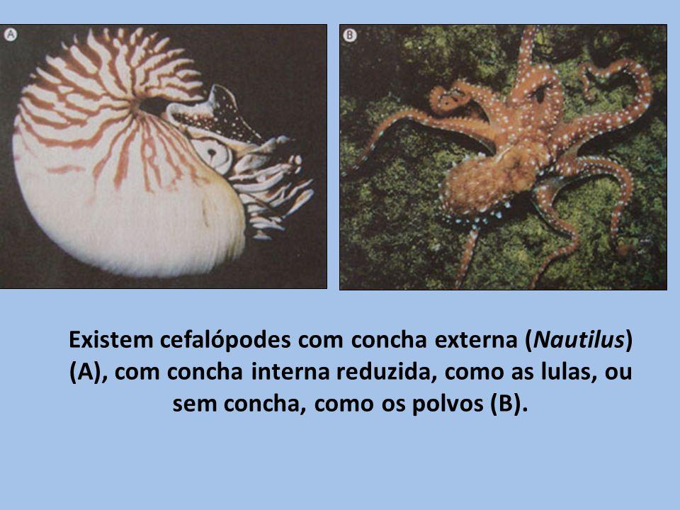 Existem cefalópodes com concha externa (Nautilus) (A), com concha interna reduzida, como as lulas, ou sem concha, como os polvos (B).