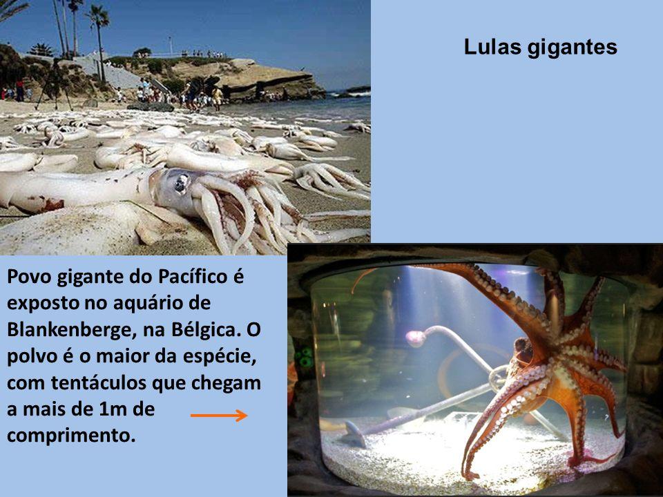 Lulas gigantes Povo gigante do Pacífico é exposto no aquário de Blankenberge, na Bélgica.