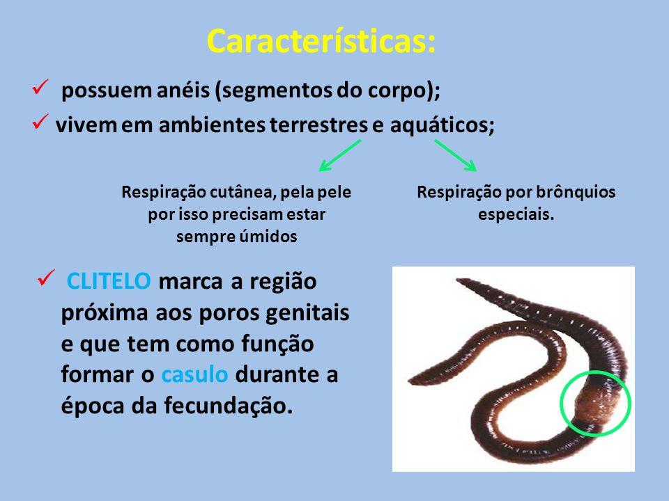 Características: possuem anéis (segmentos do corpo); vivem em ambientes terrestres e aquáticos; Respiração cutânea, pela pele por isso precisam estar sempre úmidos Respiração por brônquios especiais.