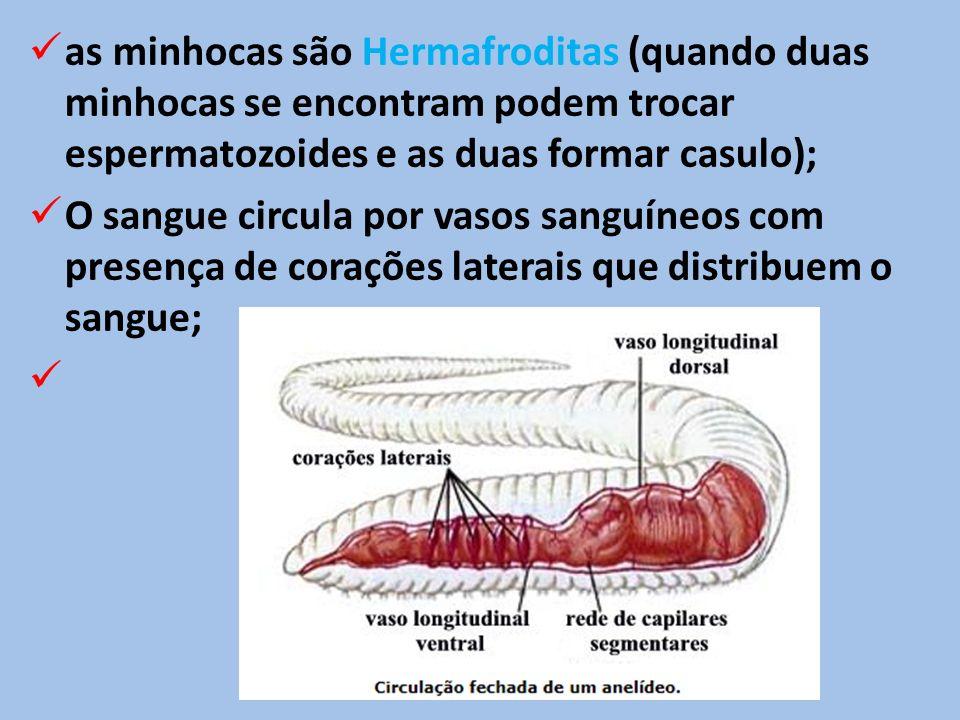 as minhocas são Hermafroditas (quando duas minhocas se encontram podem trocar espermatozoides e as duas formar casulo); O sangue circula por vasos sanguíneos com presença de corações laterais que distribuem o sangue;