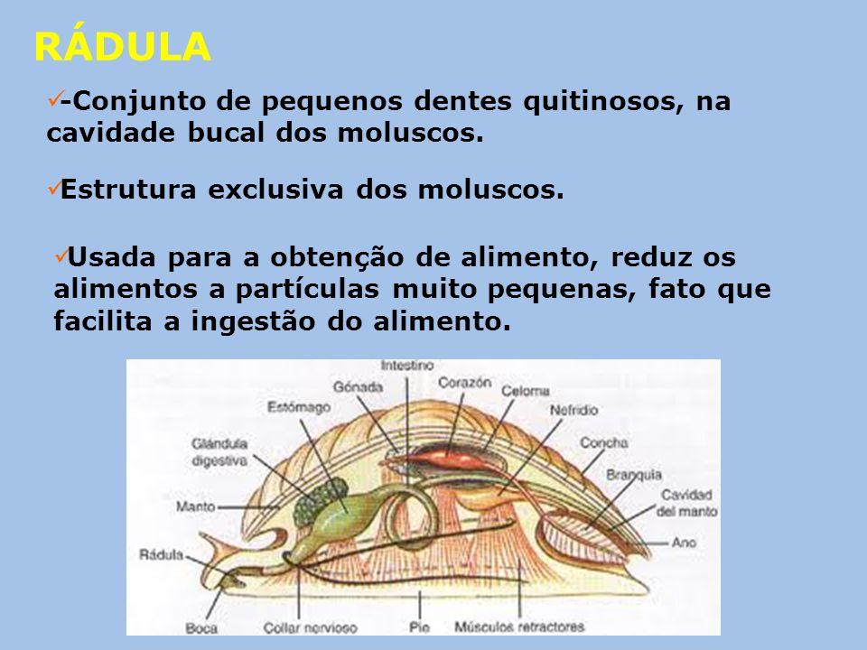 RÁDULA -Conjunto de pequenos dentes quitinosos, na cavidade bucal dos moluscos. Estrutura exclusiva dos moluscos. Usada para a obtenção de alimento, r