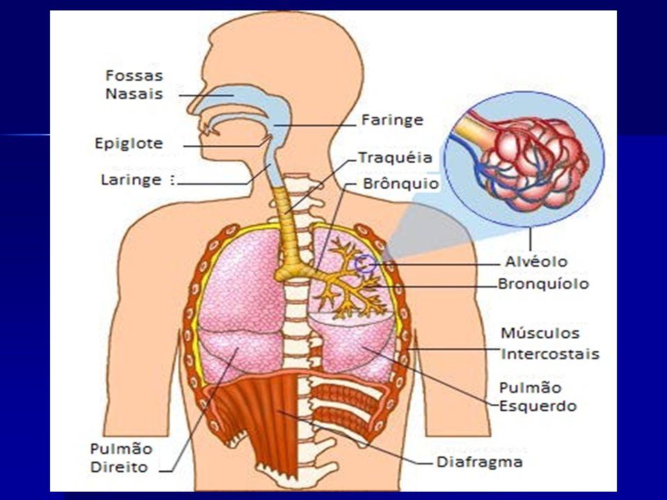 SISTEMA RESPIRATÓRIO HUMANO VIAS AÉREAS cavidades nasais faringe laringe traquéia brônquios bronquíolos alvéolos pulmonares