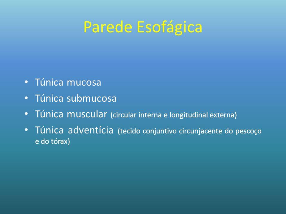 Parede Esofágica Túnica mucosa Túnica submucosa Túnica muscular (circular interna e longitudinal externa) Túnica adventícia (tecido conjuntivo circunj