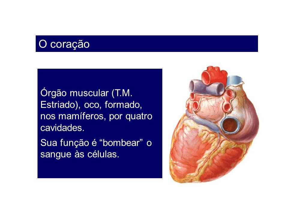 O coração Órgão muscular (T.M. Estriado), oco, formado, nos mamíferos, por quatro cavidades. Sua função é bombear o sangue às células.