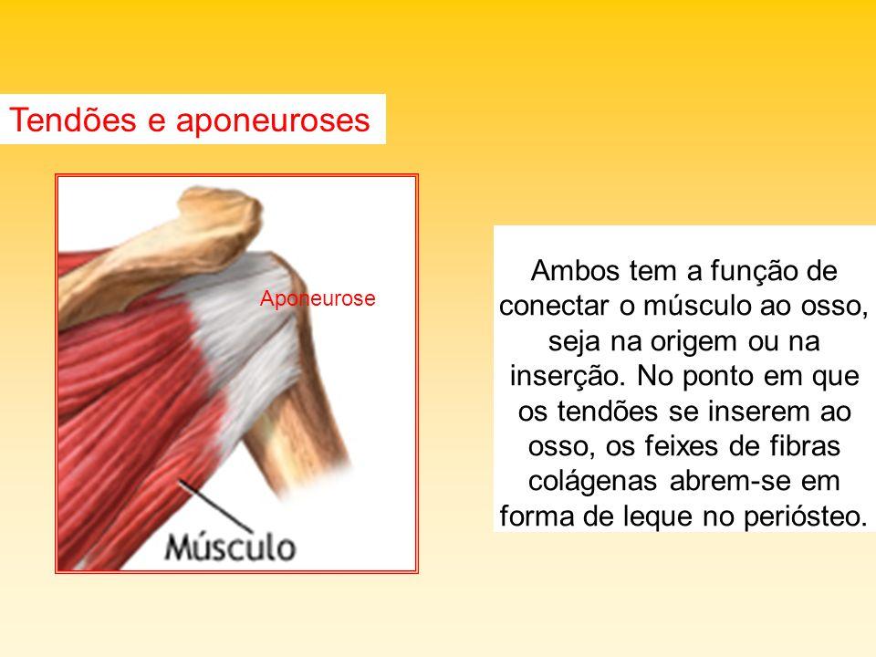 Tendões e aponeuroses Ambos tem a função de conectar o músculo ao osso, seja na origem ou na inserção. No ponto em que os tendões se inserem ao osso,