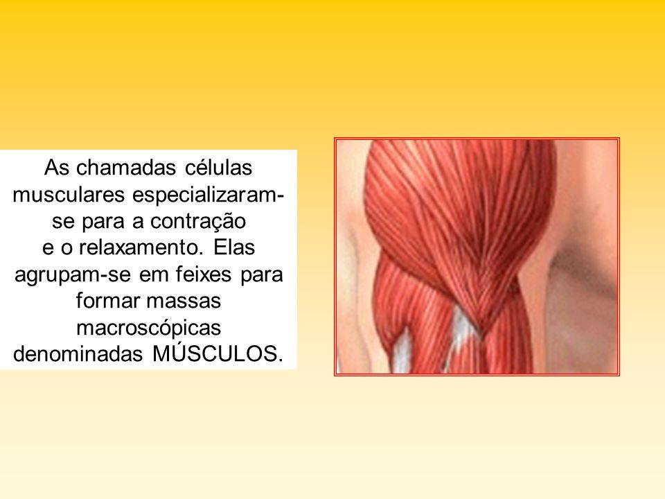 As chamadas células musculares especializaram- se para a contração e o relaxamento. Elas agrupam-se em feixes para formar massas macroscópicas denomin