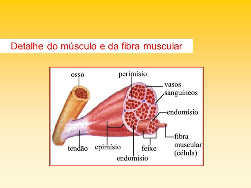 MÚSCULO LISO é o músculo involuntário; localiza-se na pele, órgãos internos, aparelho reprodutor, grandes vasos sanguíneos e aparelho excretor.