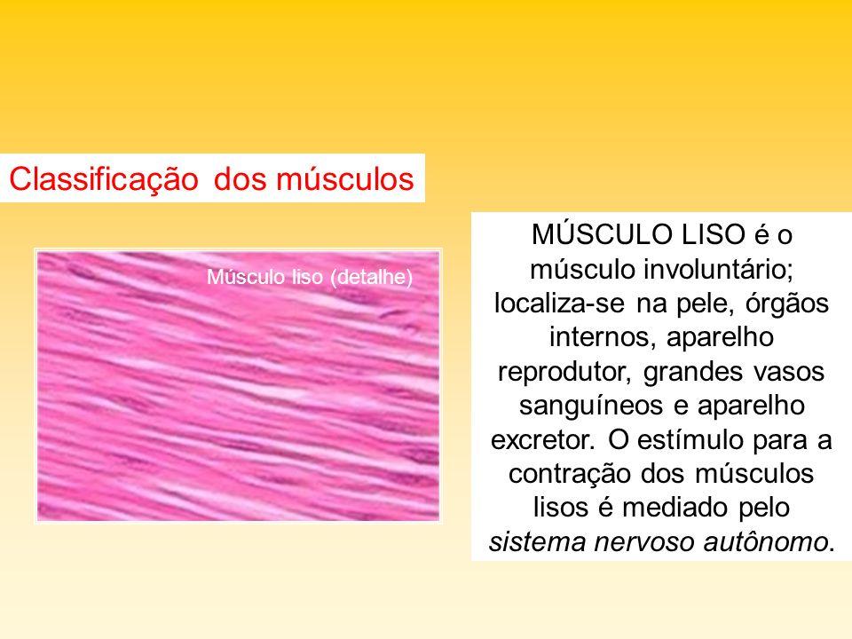 MÚSCULO LISO é o músculo involuntário; localiza-se na pele, órgãos internos, aparelho reprodutor, grandes vasos sanguíneos e aparelho excretor. O estí