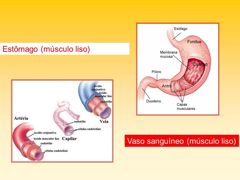 Estômago (músculo liso) Vaso sanguíneo (músculo liso)