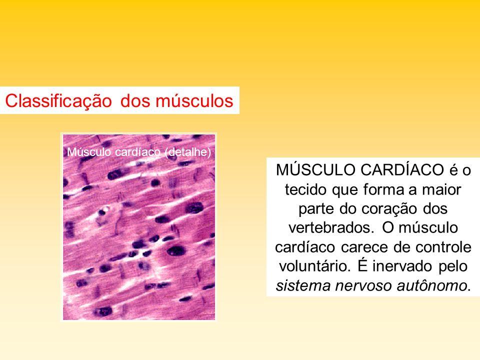 Atenção aos músculos Distensão ocorre por um alongamento das fibras além do seu estado fisiológico, ou seja, o músculo excede seu comprimento máximo causando o rompimento das fibras.