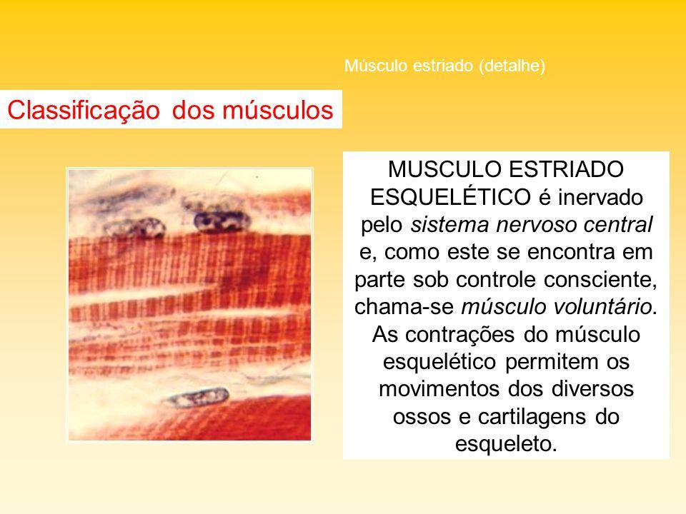 MUSCULO ESTRIADO ESQUELÉTICO é inervado pelo sistema nervoso central e, como este se encontra em parte sob controle consciente, chama-se músculo volun