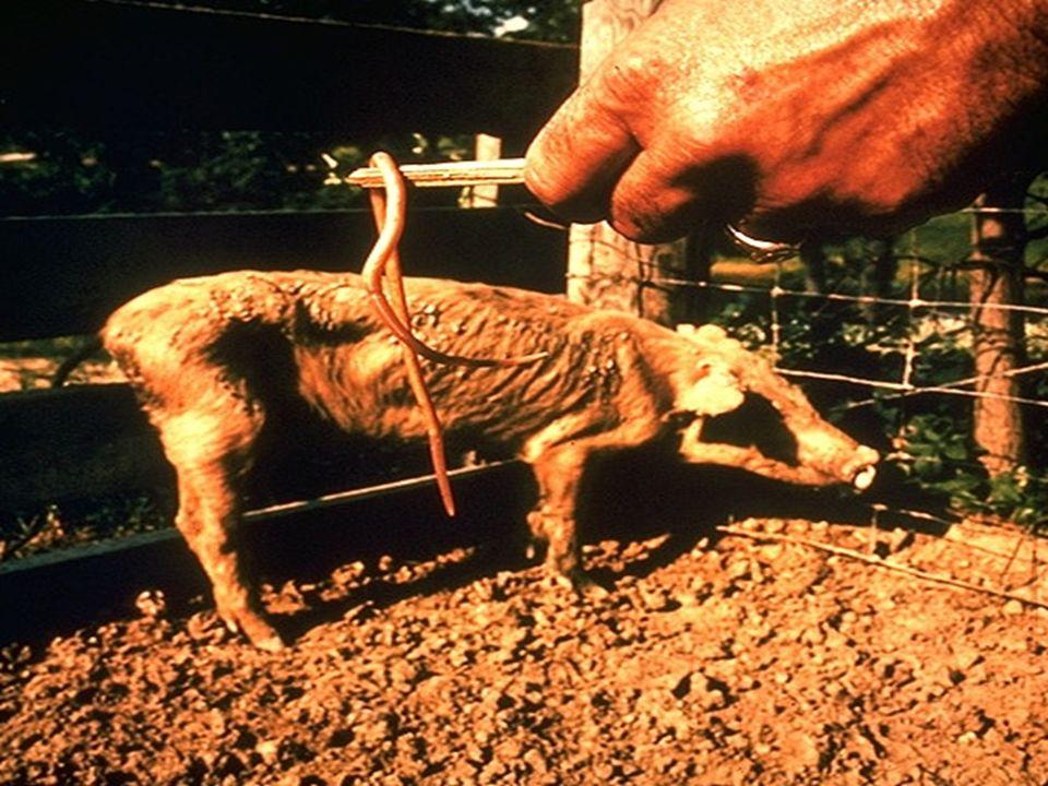 Ascaris em porco Ascaris em porco
