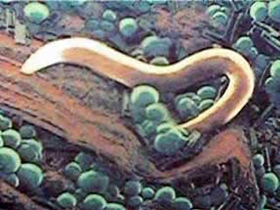 BICHO GEOGRÁFICO (Dermatose Serpiginosa) Ancylostoma braziliense