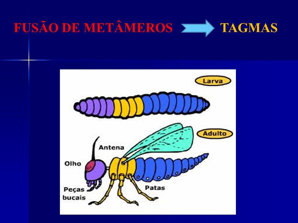 CARACTERÍSTICAS Pernas articuladas Metamerizados (tagmas) Exoesqueleto quitinoso Triblásticos Celomados Protostômios Bilatérios Filo com mais de 1 mil