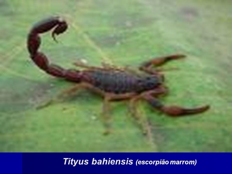Tityus serrulatus (escorpião amarelo)