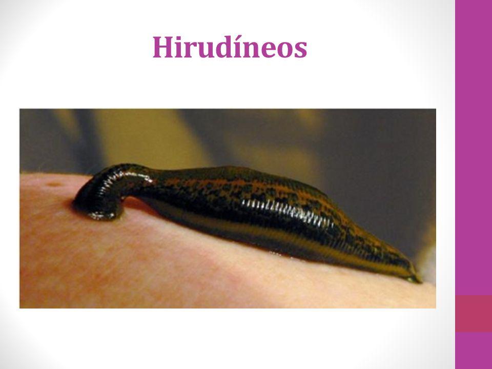 Sanguessugas (ectoparasitas) Terrestres ou aquáticos (água doce e salgada) Possuem ventosas nas extremidades Produzem a hirudina - impede a coagulação do sangue.