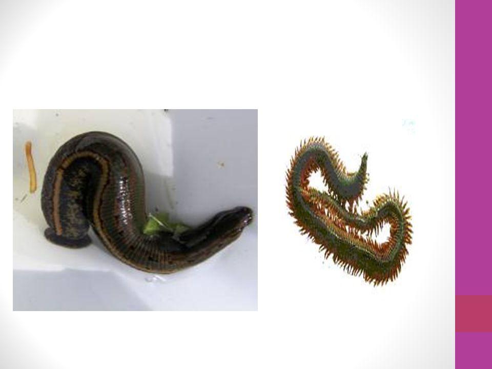 Filo dos Anelídeos Annelida (do latim = annelus, pequeno anel: ida, plural) Annelida (do latim = annelus, pequeno anel: ida, plural)