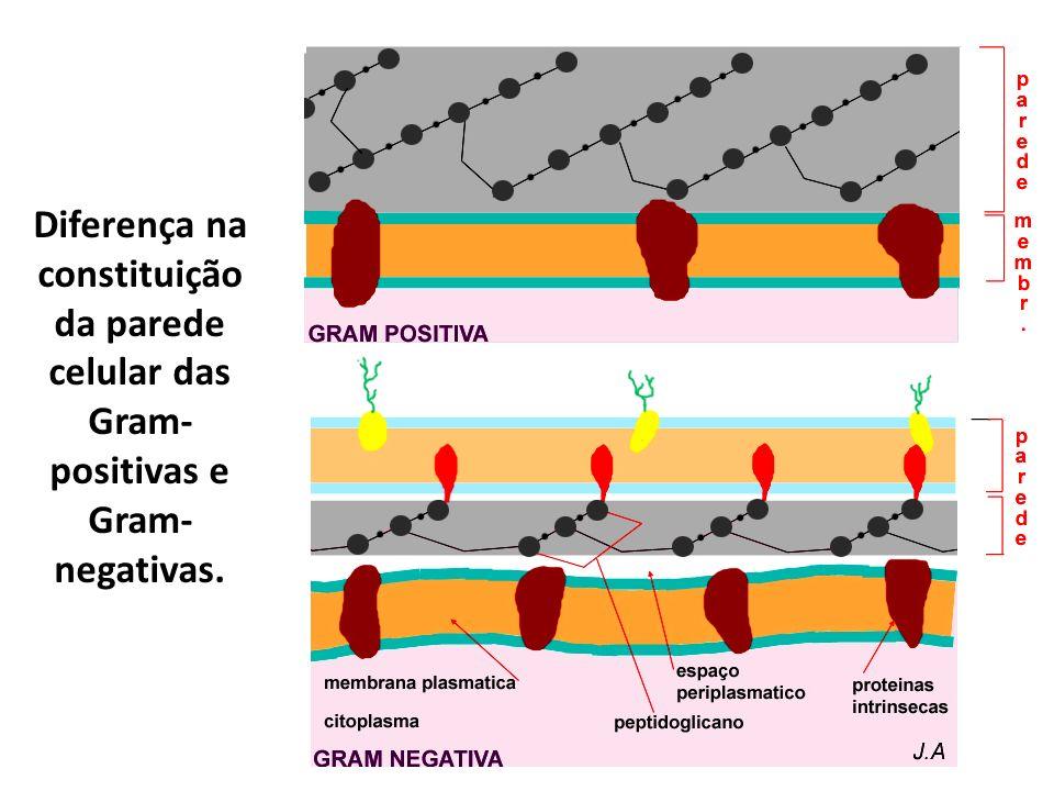 Diferença na constituição da parede celular das Gram- positivas e Gram- negativas.