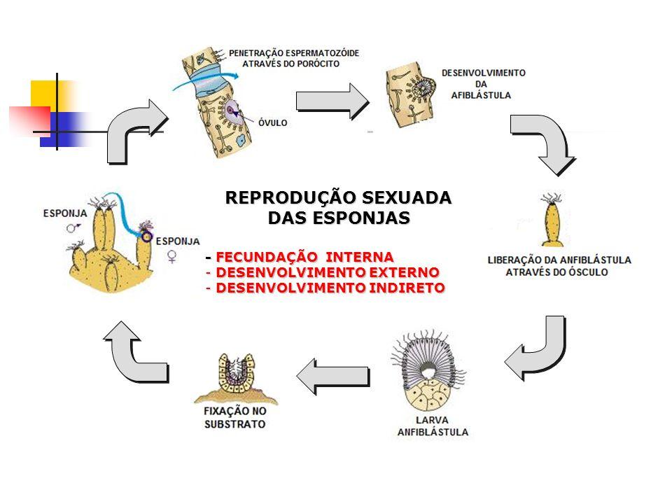 REPRODUÇÃO SEXUADA DAS ESPONJAS - FECUNDAÇÃO INTERNA - DESENVOLVIMENTO EXTERNO - DESENVOLVIMENTO INDIRETO