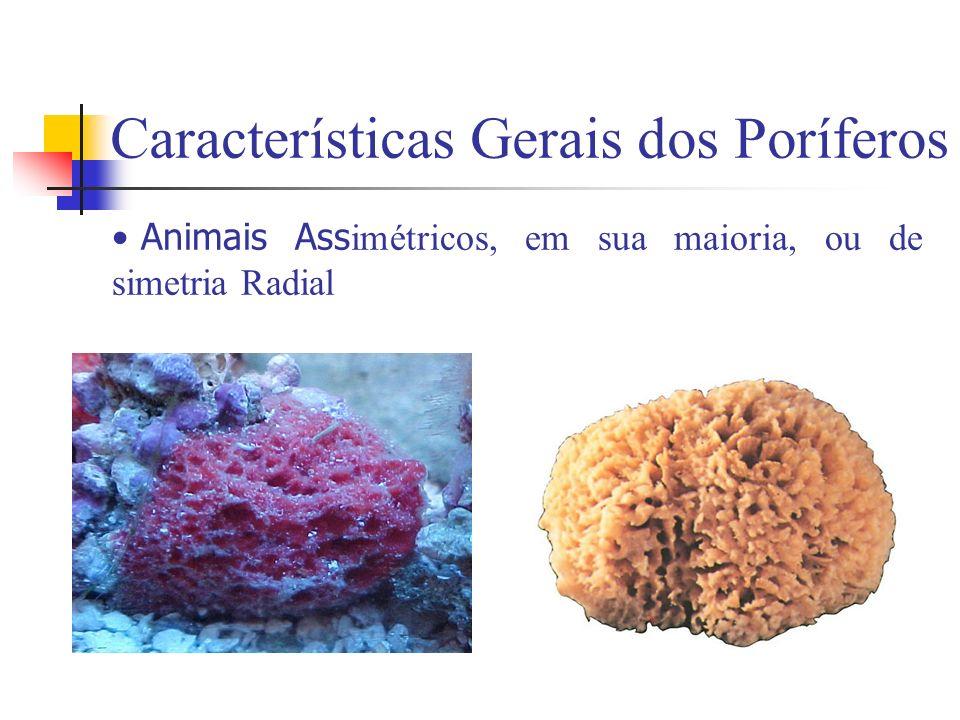 Características Gerais dos Poríferos Animais Ass imétricos, em sua maioria, ou de simetria Radial