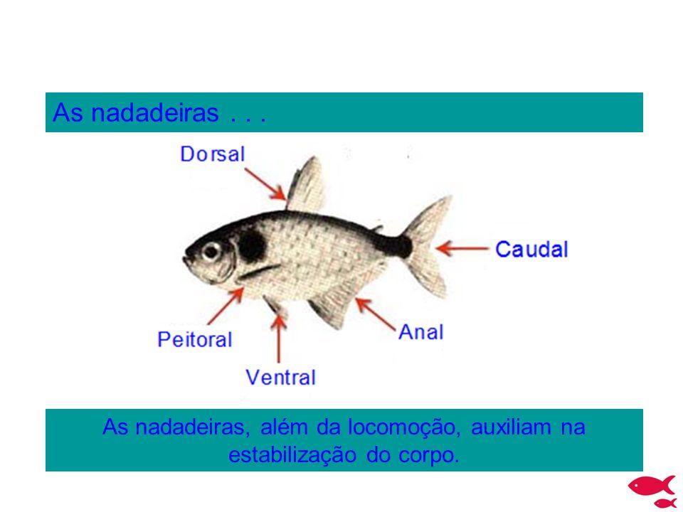 As nadadeiras... As nadadeiras, além da locomoção, auxiliam na estabilização do corpo.