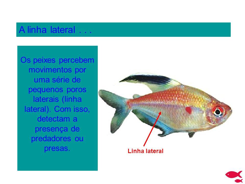 A linha lateral... Os peixes percebem movimentos por uma série de pequenos poros laterais (linha lateral). Com isso, detectam a presença de predadores