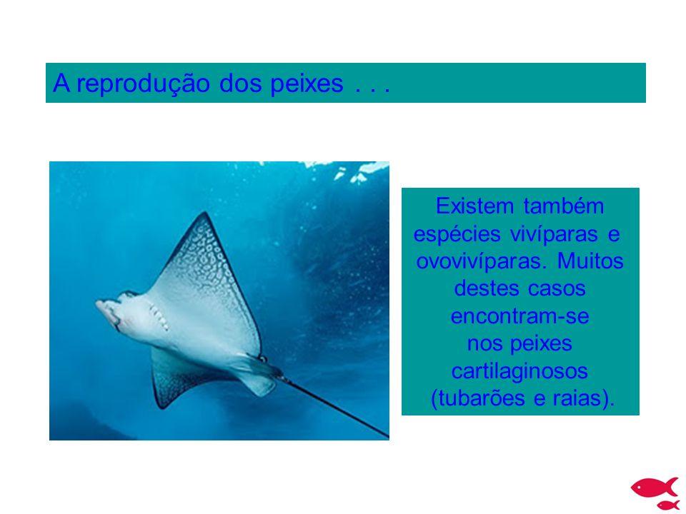A reprodução dos peixes... Existem também espécies vivíparas e ovovivíparas. Muitos destes casos encontram-se nos peixes cartilaginosos (tubarões e ra
