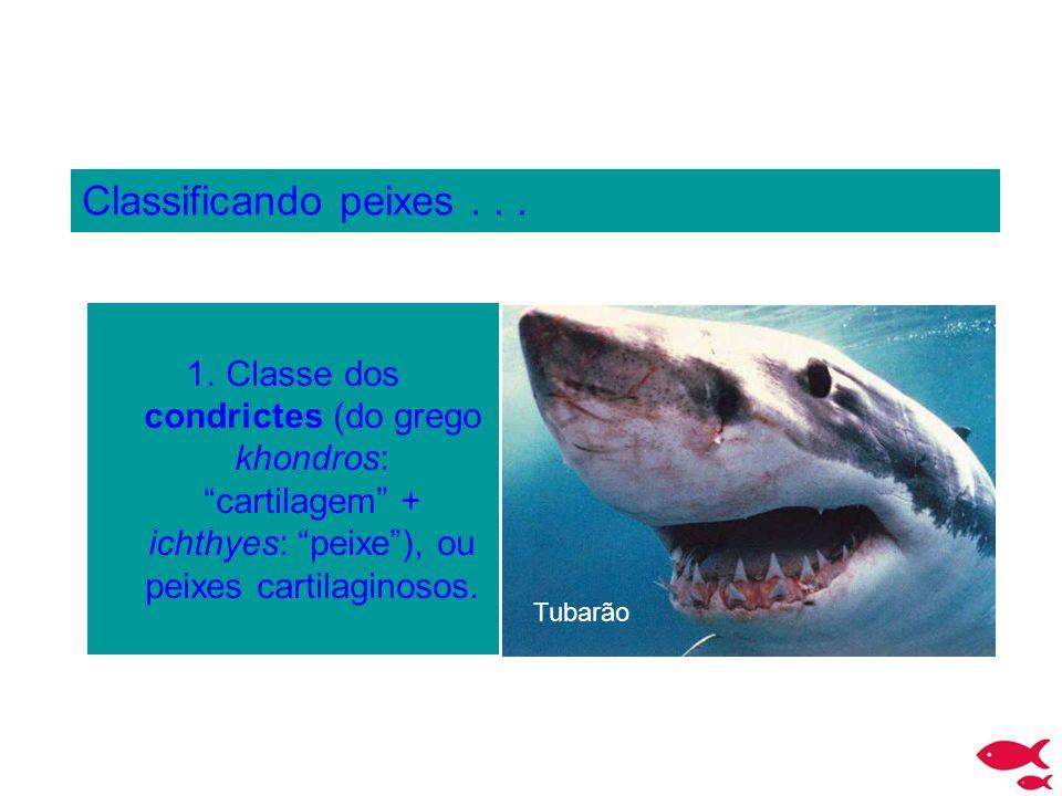 Classificando peixes... 1.Classe dos condrictes (do grego khondros: cartilagem + ichthyes: peixe), ou peixes cartilaginosos. Tubarão