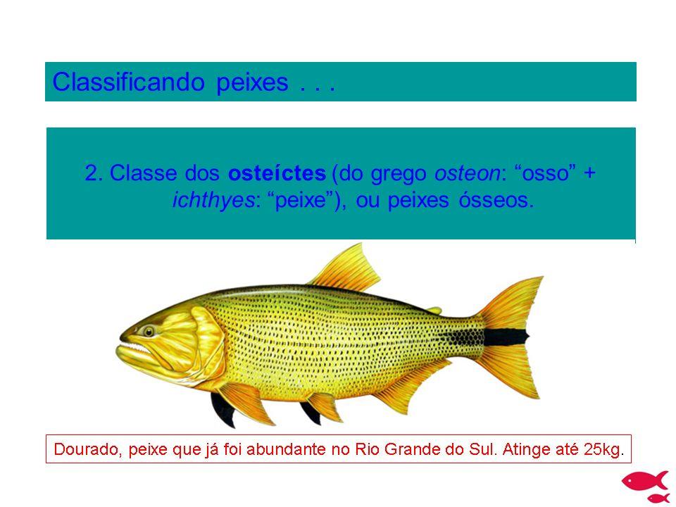 Classificando peixes... 2. Classe dos osteíctes (do grego osteon: osso + ichthyes: peixe), ou peixes ósseos.