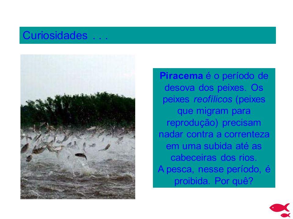 Curiosidades... Piracema é o período de desova dos peixes. Os peixes reofílicos (peixes que migram para reprodução) precisam nadar contra a correnteza