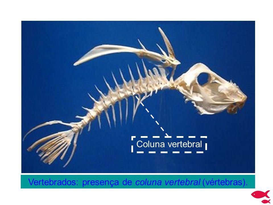 Vertebrados: presença de coluna vertebral (vértebras). Coluna vertebral