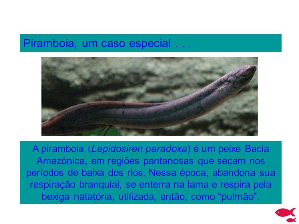 Piramboia, um caso especial... A piramboia (Lepidosiren paradoxa) é um peixe Bacia Amazônica, em regiões pantanosas que secam nos períodos de baixa do