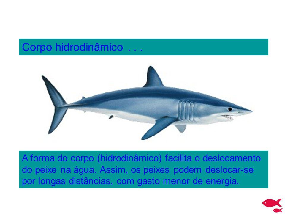 Corpo hidrodinâmico... A forma do corpo (hidrodinâmico) facilita o deslocamento do peixe na água. Assim, os peixes podem deslocar-se por longas distân