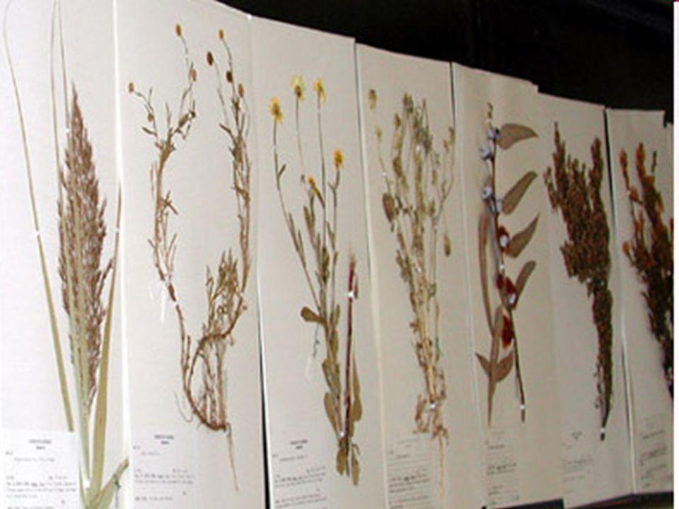 Montagem das Exsicatas Após a triagem, o material a ser incorporado ao herbário vai à montagem, que consiste na colagem cuidadosa do ramos com folha, flor e/ou fruto no centro de um pedaço de cartolina de 33 x 45 cm.