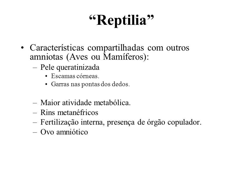 Reptilia Características compartilhadas com outros amniotas (Aves ou Mamíferos): –Pele queratinizada Escamas córneas. Garras nas pontas dos dedos. –Ma