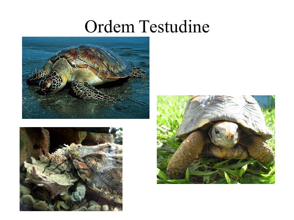 Ordem Testudine