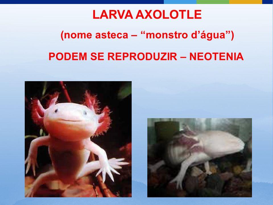 LARVA AXOLOTLE (nome asteca – monstro dágua) PODEM SE REPRODUZIR – NEOTENIA