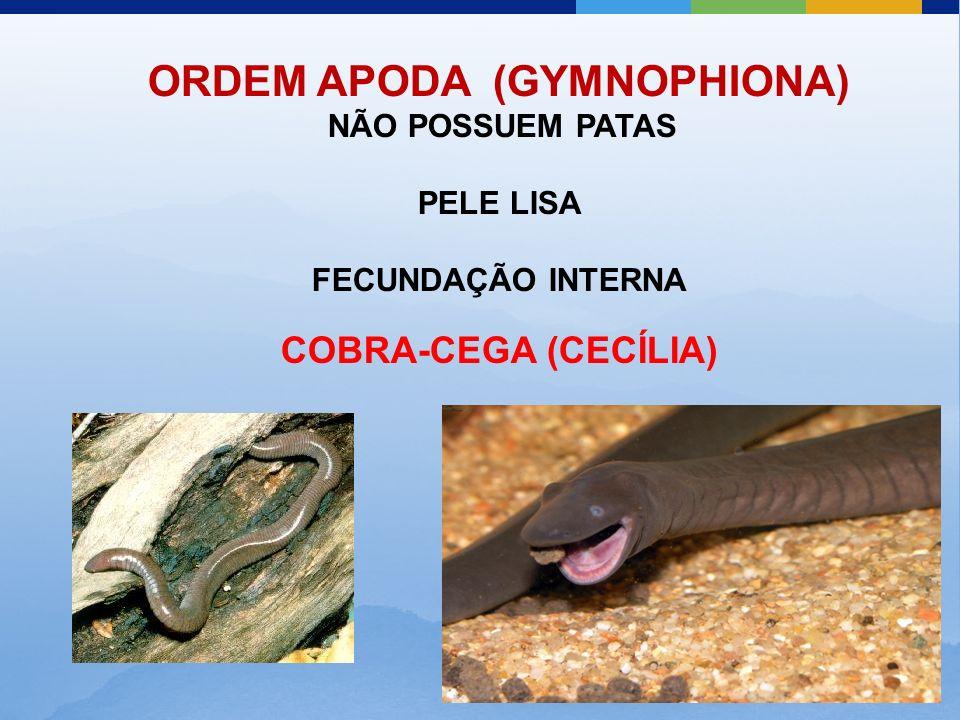 ORDEM APODA (GYMNOPHIONA) NÃO POSSUEM PATAS PELE LISA FECUNDAÇÃO INTERNA COBRA-CEGA (CECÍLIA)