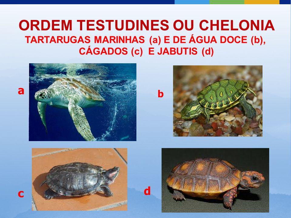 ORDEM TESTUDINES OU CHELONIA TARTARUGAS MARINHAS (a) E DE ÁGUA DOCE (b), CÁGADOS (c) E JABUTIS (d) a b c d